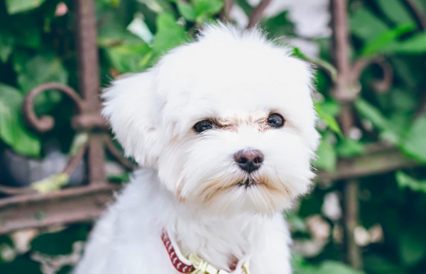 Getting a Hypoallergenic Dog? Here's What You Need to Know.